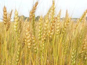 new-wheat
