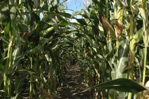 GMO crop